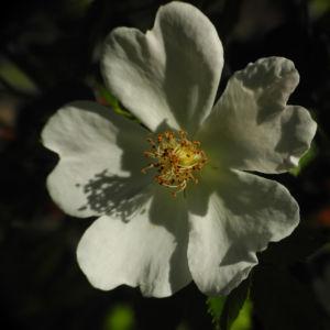 Hecken Rose Bluete weiss Rosa corymbifera 04