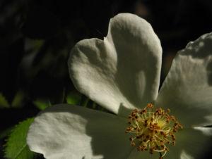 Hecken Rose Bluete weiss Rosa corymbifera 05