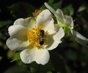 Hecken Rose Bluete weiss Rosa corymbifera 07