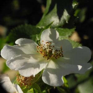 Hecken Rose Bluete weiss Rosa corymbifera 08