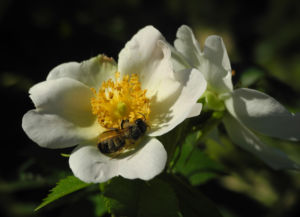 Hecken Rose Bluete weiss Rosa corymbifera 09