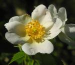 Bild: Hecken-Rose Blüte weiß Rosa corymbifera