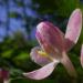Zurück zum kompletten Bilderset Rote Heckenkirsche Blüte rot weiß Lonicera xylosteum
