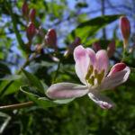 Heckenkirsche Bluete rotweiss Lonicera xylosteum 05