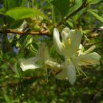 Heckenkirsche Bluete Lonicera xylosteum 02