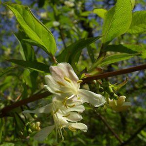 Gewöhnliche Heckenkirsche Blüte weiss Lonicera xylosteum