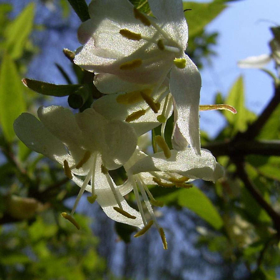 Heckenkirsche Bluete Lonicera xylosteum