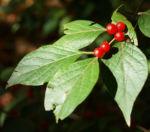 Heckenkirsche Frucht rot Blatt gruen Lonicera maackii 03