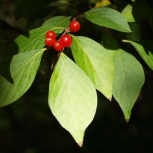 Heckenkirsche Frucht rot Blatt gruen Lonicera maackii 04