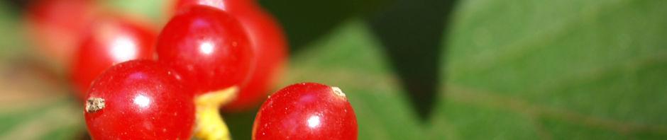 heckenkirsche-frucht-rot-blatt-gruen-lonicera-maackii