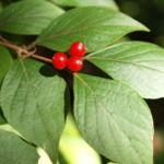 Heckenkirsche Frucht rot Blatt gruen Lonicera maackii 06