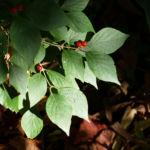 Heckenkirsche Frucht rot Blatt gruen Lonicera maackii 07