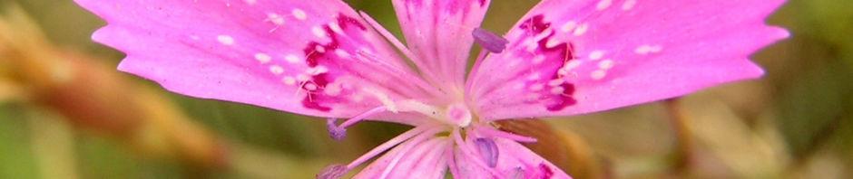 heide-nelke-bluete-hellrot-dianthus-deltoides