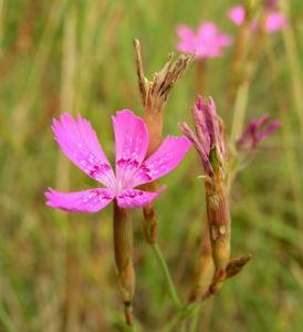 Heide Nelke Bluete hellrot Dianthus deltoides 02