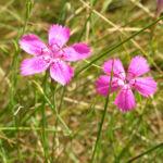 Heide Nelke Bluete rose Dianthus deltoides 01