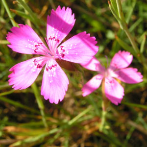 Heide Nelke Bluete rose Dianthus deltoides 05