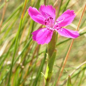 Heide Nelke Bluete rose Dianthus deltoides 07