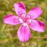 Heide Nelke Bluete rose Dianthus deltoides 08