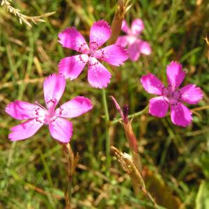 Heide Nelke Bluete rose Dianthus deltoides 09