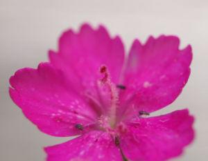 Heide Nelke Bluete rot Dianthus deltoides 01