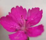 Heide Nelke Bluete rot Dianthus deltoides 03