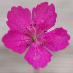 Heide Nelke Bluete rot Dianthus deltoides 05