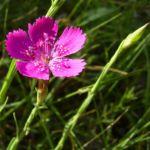 Heide Nelke Dianthus deltoides 3