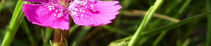 Anklicken um das ganze Bild zu sehen Heide Nelke Blüte Dianthus deltoides