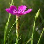 Heide Nelke Dianthus deltoides 4