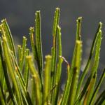 Heidekrautblaettrige Banksia Blatt gruen Banksia ericifolia 10