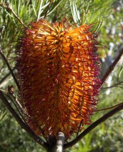 Heidekrautblaettrige Banksia Bluete orange Banksia ericifolia 16