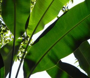 Heliconie Firebird Blatt gruen Bluete rot Heliconia bihai 09
