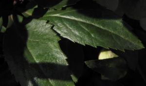 Helleborus hybride Bluete hellgruen Helleborus hybrid 09