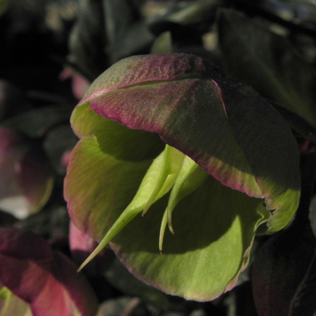 Helleborus hybride Bluete hellgruen Helleborus hybrid