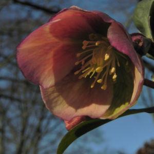 Helleborus hybride Bluete hellgruen Helleborus hybrid 17