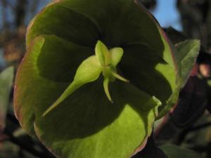 Helleborus hybride Bluete hellgruen Helleborus hybrid 35