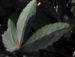 Zurück zum kompletten Bilderset Helleborus Hybride Blüte hellgrün Helleborus × hybridus