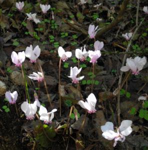 Herbst Alpenveilchen Bluete rose Cyclamen hederifolium 01