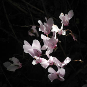 Herbst Alpenveilchen Bluete rose Cyclamen hederifolium 03