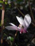 Herbst Alpenveilchen Bluete rose Cyclamen hederifolium 06