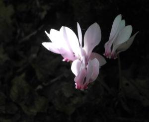 Herbst Alpenveilchen Bluete rose Cyclamen hederifolium 11