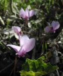 Herbst Alpenveilchen Bluete rose Cyclamen hederifolium 12