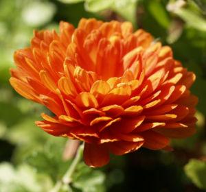 Herbst Chrysantheme Winteraster Bluete braun orange Chrysanthemum indicum hybdride 03