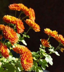 Herbst Chrysantheme Winteraster Bluete braun orange Chrysanthemum indicum hybdride 06