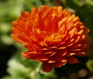 Herbst Chrysantheme Winteraster Bluete braun orange Chrysanthemum indicum hybdride 07