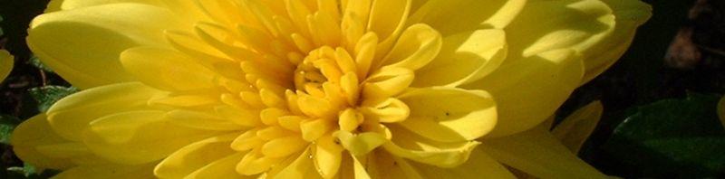 Anklicken um das ganze Bild zu sehen Herbst Chrysantheme gelb - Chrysanthemum indicum
