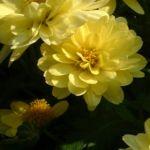 Herbst Chrysantheme hellgelb Chrysanthemum Indicum 01