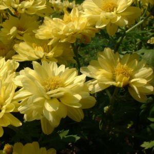 Herbst Chrysantheme hellgelb Chrysanthemum Indicum 03