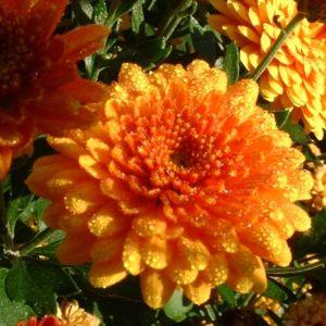 Herbst Chrysantheme orange Chrysanthemum indicum hybriden 03