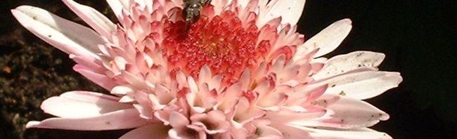 Anklicken um das ganze Bild zu sehen Garten-Chrysantheme Herbst-Chrysantheme Blüte rosa Chrysanthemum indicum